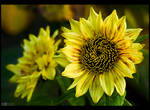 Lemon-Coloured Sunflowers by KeldBach