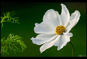 Pure White by KeldBach