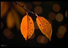 Golden Cherry Leaves by KeldBach