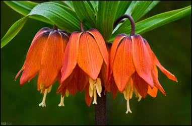 Blooming Crown Imperial by KeldBach