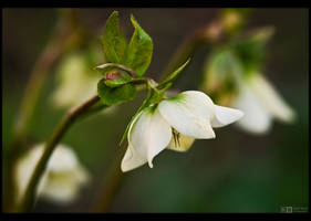 Creamy Helleborus by KeldBach