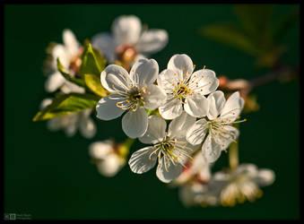 Cherry Blossom Time by KeldBach