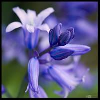 Bluebell Buds by KeldBach