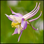 Pastel Shaded Columbine