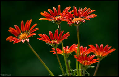 Blooming Gazania by KeldBach