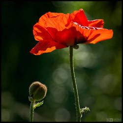 Giant Poppy by KeldBach