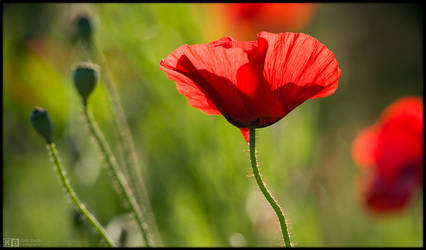 Red as Only a Poppy Can Be by KeldBach