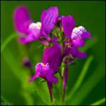 Purple Toadflax by KeldBach