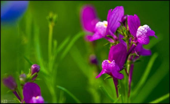 Purple Toadflax