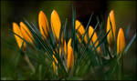 Time for the Crocuses