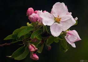Wet Apple Blossom