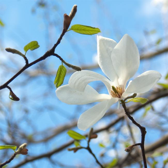 Magnolia by june-june