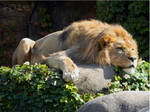 Lounging Lion Lord