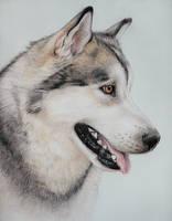 Siberian Husky by pawtraits