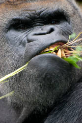 Gorilla by planetpics