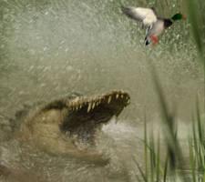 Gustave the crocodile chases a mallard