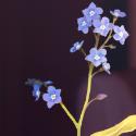 Semaine7 du 52weeks illustration challenge, thème : Botanical !  A la base mon idée c'était la version du haut, avec juste les fleurs nettes et le reste flou... Et puis ça m'a rendu trop triste de l'avoir détaillée (pas pu m'en empêcher u_u) pour tout flouter à la fin, alors j'ai fait une version 2 en plus !