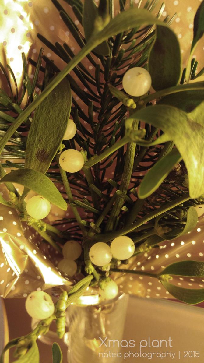 Xmas plant ~2015 by natea