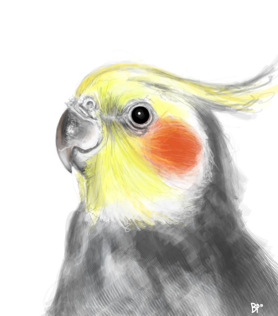Cockatiel Practice by cerplex
