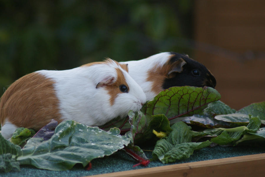 Cute piggy eating - photo#27