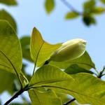 A Kew Magnolia Flower Bud by aegiandyad