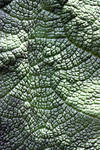 Gunnera mannicata Leaf Texture