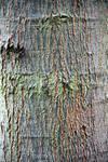 Red Oak Bark Sample Stock