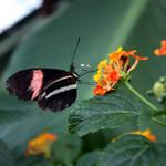 Butterfly Feeding On Lantana