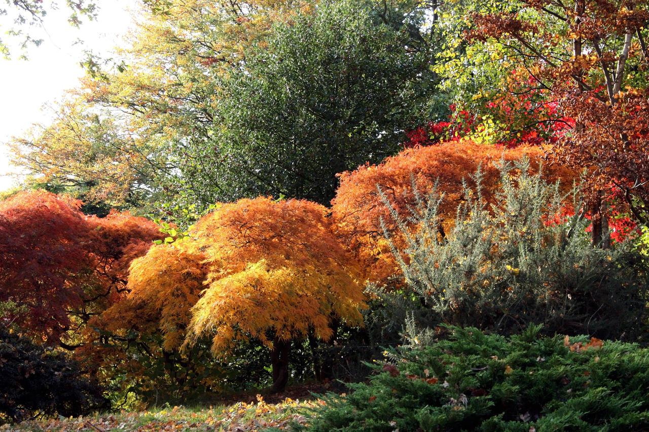 Ornamental Maple Grove, Autumn by aegiandyad