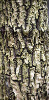 Cordyline Bark Texture Stock by aegiandyad