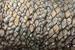 Encephalartos Cycad Detail