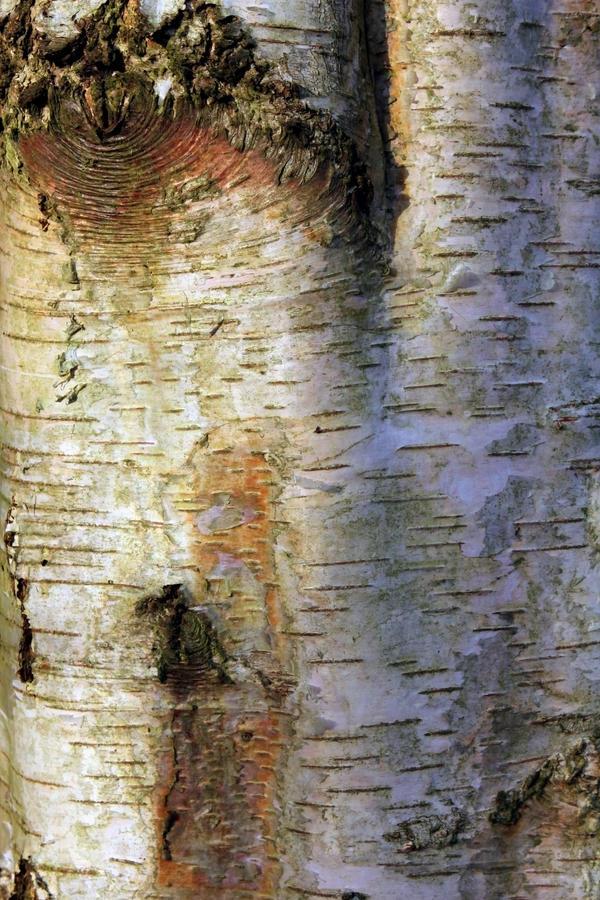 Buy Birch Bark For Crafts