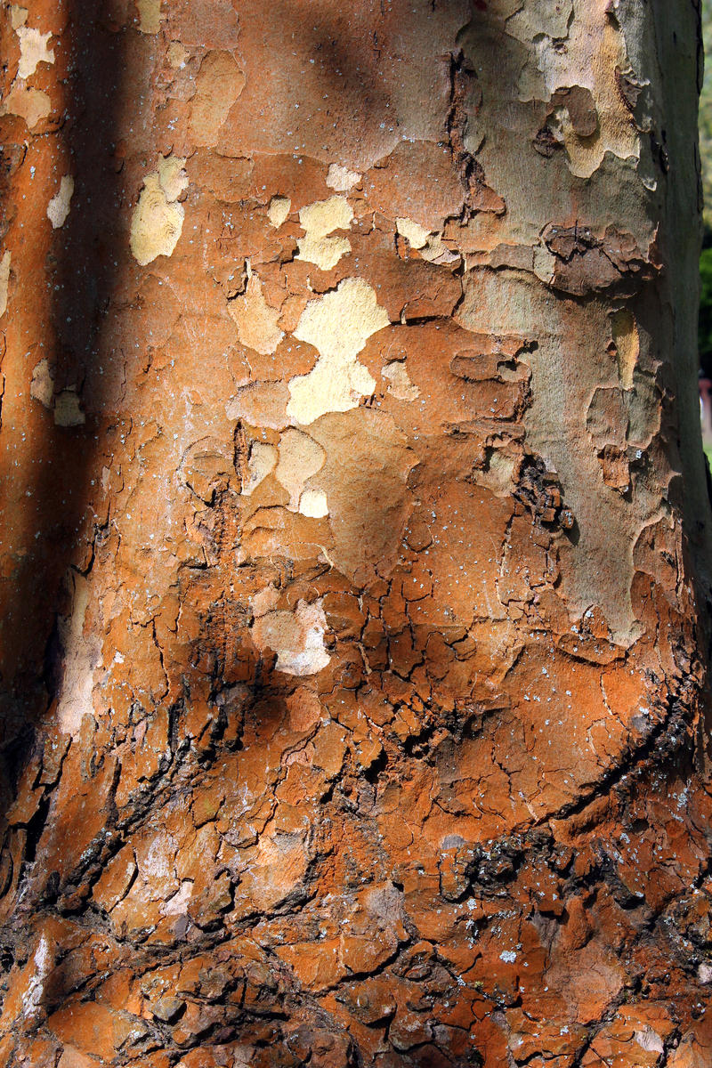 Kelsey Park Plane Tree Bole Stock by aegiandyad