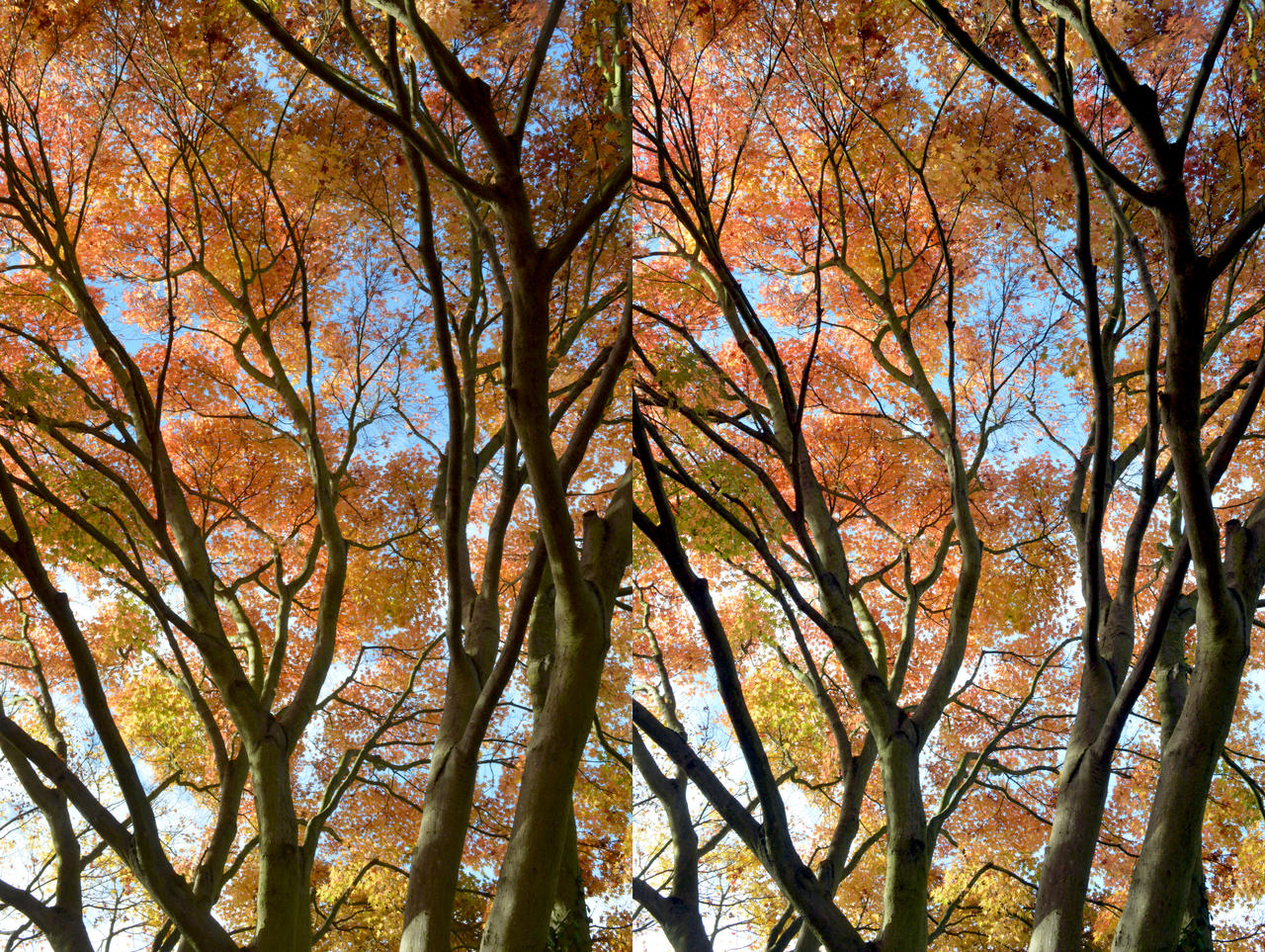 Small Leaved Ornamental Japanese Maple In Stereo by aegiandyad