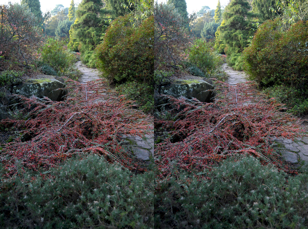 Cotoneaster XI Stereo Pair Coombe Wood Rockery by aegiandyad