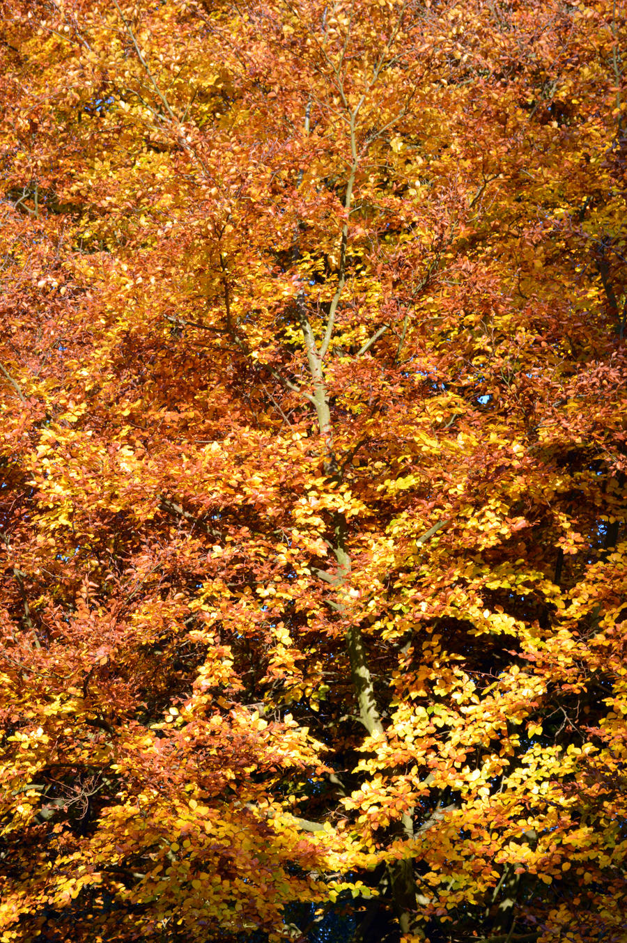 High Definition Autumnal Beech Sample Stock by aegiandyad