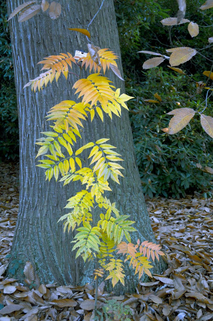 Kew Gardens Ash Sapling Sweet Chestnut Trunk by aegiandyad