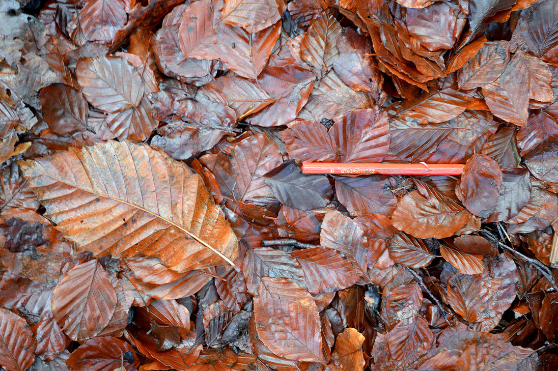 Beech, Sweet Chestnut Leaf Red Colour Pencil Stock by aegiandyad