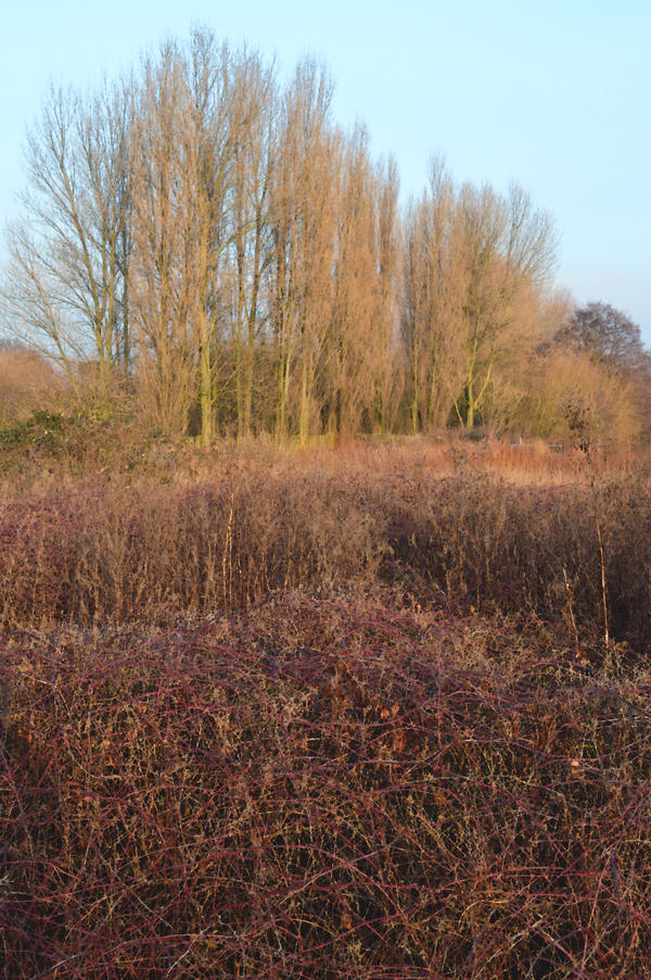 Poplars Reeds And Brambles In South Norwood by aegiandyad