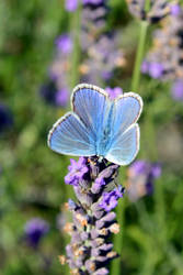 Lavender Butterfly by aegiandyad