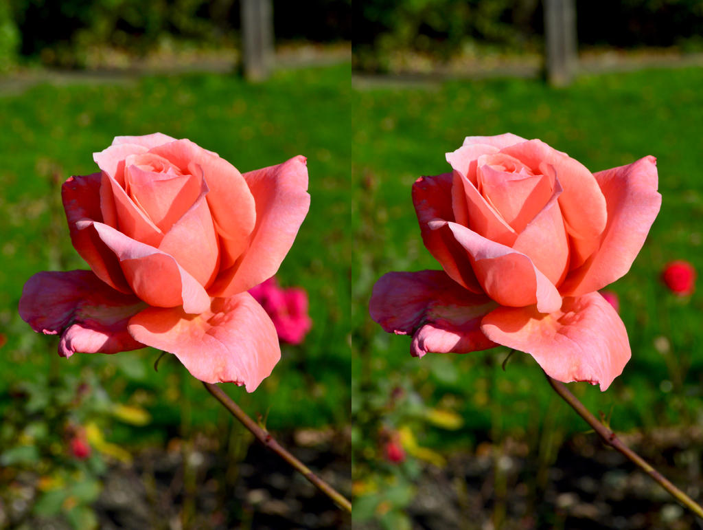 if i were a rose The quote what's in a name that which we call a rose is from shakespeare's romeo and juliet learn who said it and what it means at enotescom.