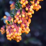 Flowering Berberis Species