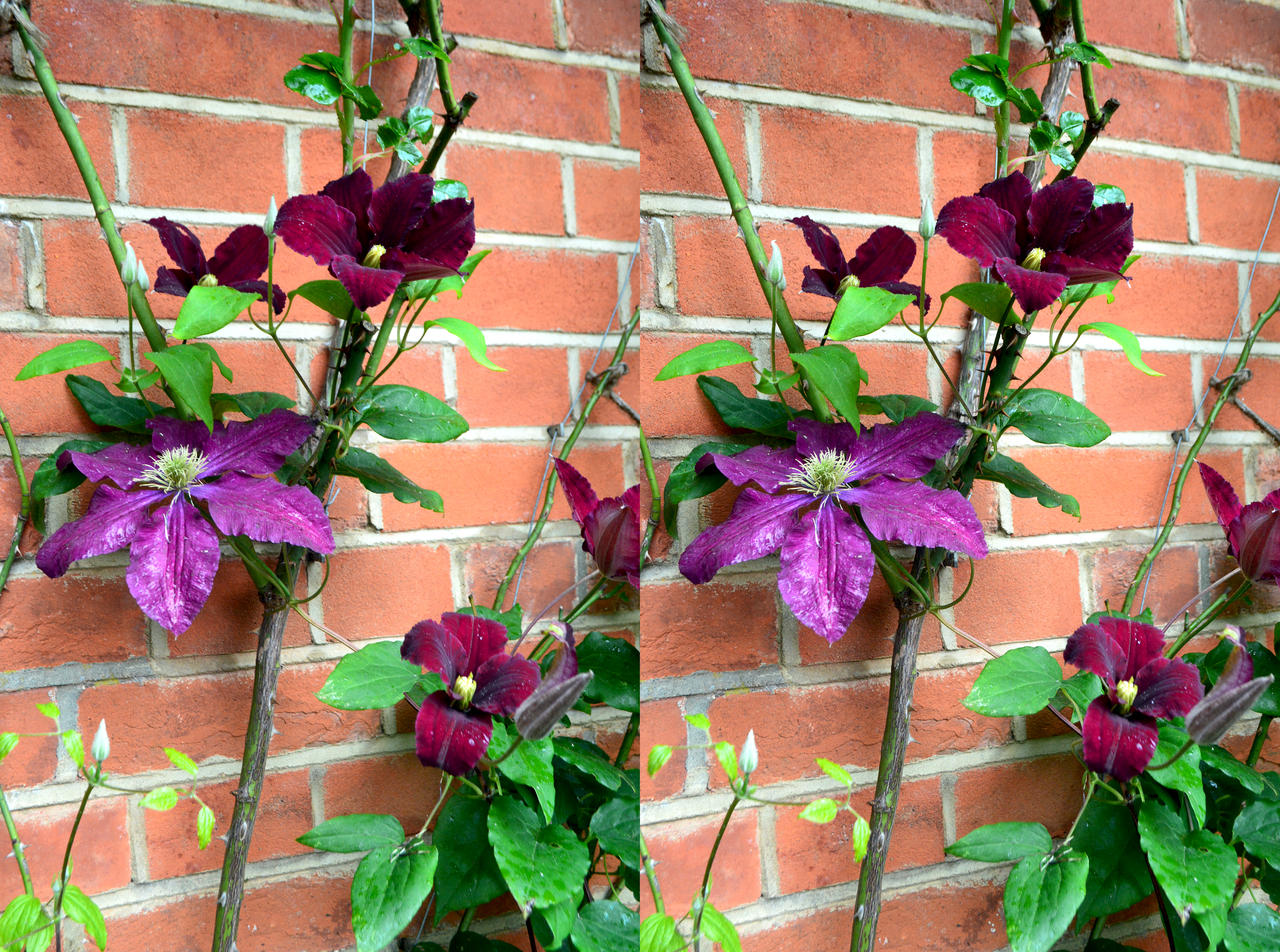 flowering clematis vine and red brick stereo by aegiandyad