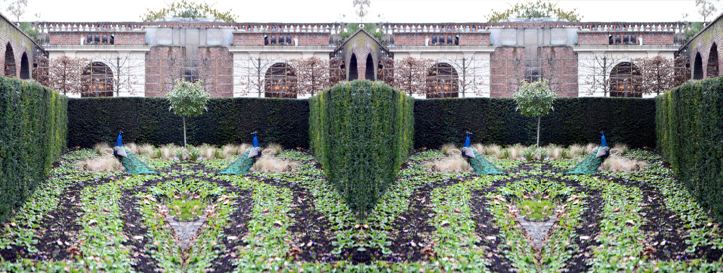 A Peacock Pair In The Parterre Stereo Pair by aegiandyad