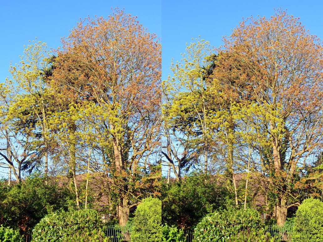 Fresh Spring Sycamore Foliage In Park Hill by aegiandyad
