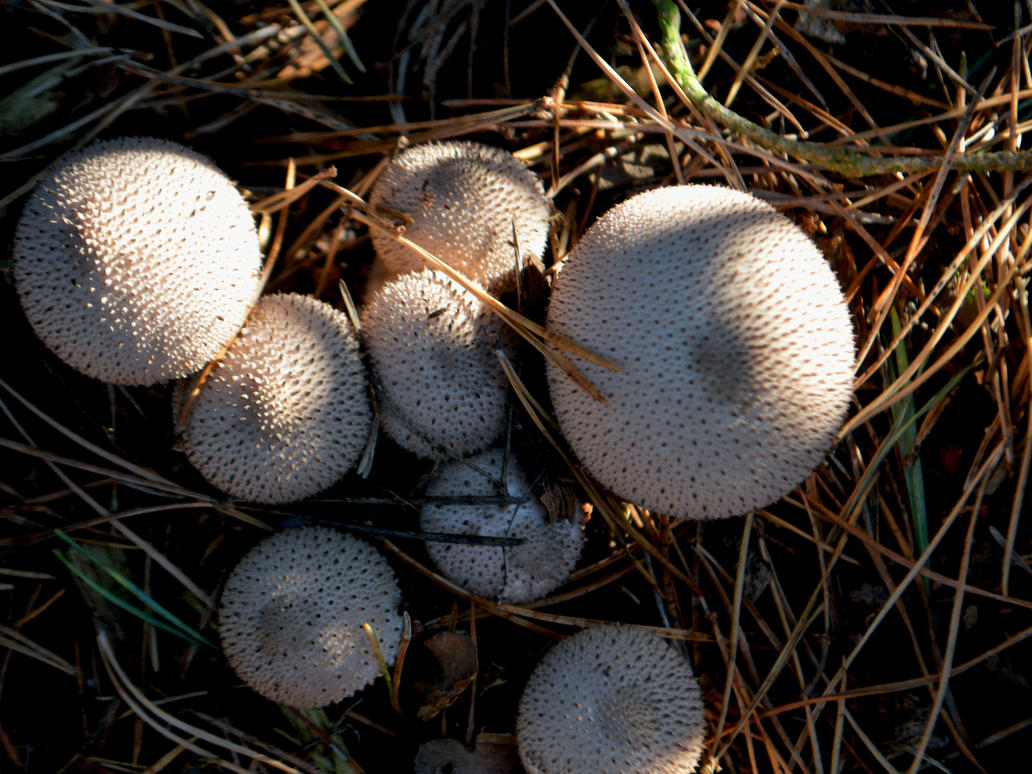 Autumnal Evening With Puff Balls In Coombe Wood by aegiandyad
