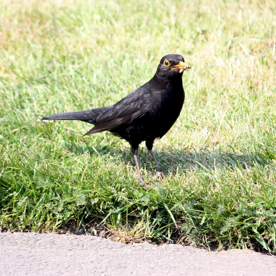 The Blackbird Feeding By The Egde Of A Lawn Stock by aegiandyad