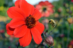 Bee About To Leave A Dahlia Flower by aegiandyad