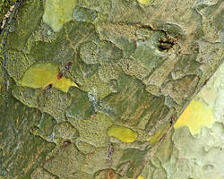 Finely painted exotic Tree Bark From Kew Gardens by aegiandyad