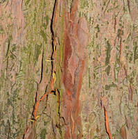 Old Yew Tree Bark Stock Texture Painting by aegiandyad